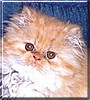 Rhapsody the Red Persian