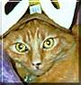 Spotmeister the Red Mackerel Tabby