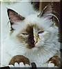 Céline the Sacred Cat of Burma