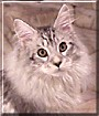Paulie the Silver Tabby Maine Coon