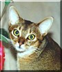 Abbie the Abyssinian