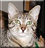 Polka the Egyptian Mau
