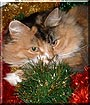 Starlet the Maine Coon