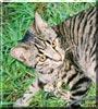 Rufus the Tabby