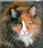Molly the Maine Coon mix