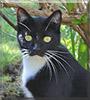 Little Cat the Tuxedo