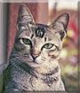 Tui the Bali cat