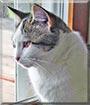 Kittie the Domestic shorthair