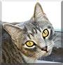 Cheshire the Siamese, Tabby cat