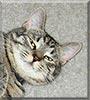 Charlie the Ocicat