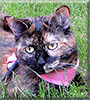 Hermoine the Domestic Shorthair Tortoiseshell