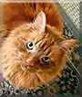 Hobbes the Maine Coon