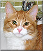 Tuffy the Orange and White Tabby