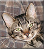 Copernicus the Domestic Shorthair Tabby