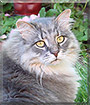 Smokey the Maine Coon Cat