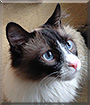 Christopher the Snowshoe, Ragdoll mix