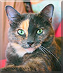 Dora the Tortoiseshell Cat