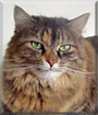 Autumn the Tortoiseshell Tabby