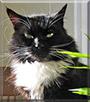 Tulip the Tuxedo Cat