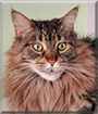 Dezba the Maine Coon