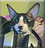 Mixie the Cornish Rex