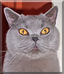 Doctor Blue the British Shorthhair