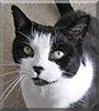 Boo Boo the Tuxedo Cat