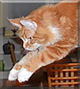 Red Rider the Maine Coon
