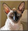 Miriam London the Cornish Rex cat