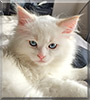 Beau the Red Point Ragdoll