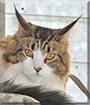 Willow the Maine Coon