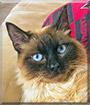 Ralphie the Siamese mix