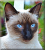 Monchita the Siamese mix