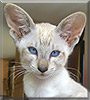 Nyla the Lynx point Siamese