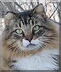 Lucky the Siberian Forest Cat