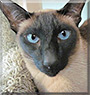 Bonzi the Seal point Siamese