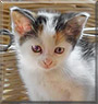 Sterre the Calico European Shorthair