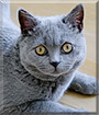 Baloo the British Shorthair