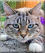Bella the Siamese Lynx point