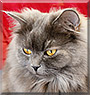 Ashley the Persian cat