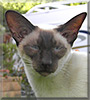 Sydney the Siamese
