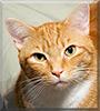 Ginger the American shorthair