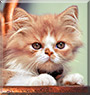 Louie the Persian cat