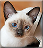 Holly the Tonkinese