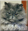 Billu Bhai the Persian Cat