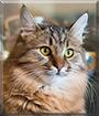 Frida the Siberian cat