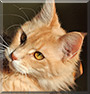 Kleopatra the Maine Coon