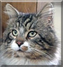 Tywin the Maine Coon, tabby mix