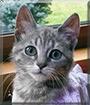 Sapphire the Grey Tabby