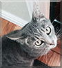 Stormy the Domestic Tabby